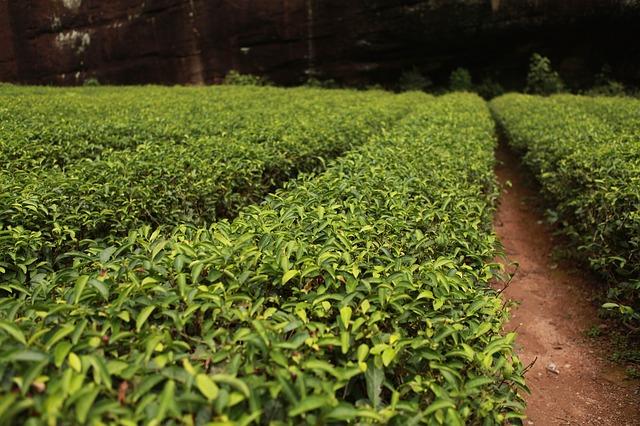chudnutie a zelený čaj