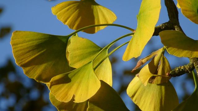 Ginko biloba: Zlepšenie krvného obehu, pamäte a erekcie