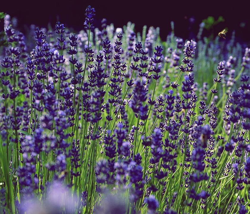 Ochranca pred stresom – Levanduľový olej